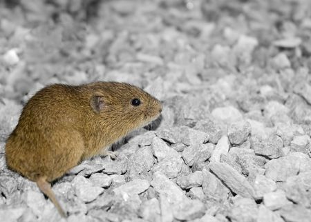 Brown meadow vole on grey gravel. Copyspace at right. Stock Photo