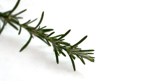 Close shot of a rosemary sprig over white background Stock Photo