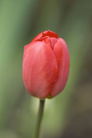 Red Tulip close up over green blurry background Stock Photo - 3473127