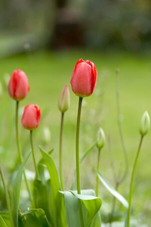 Red Tulips in garden Stock Photo