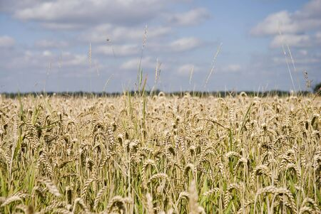 Wheat field in summer showing golden ears Stock Photo