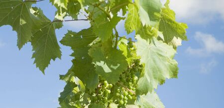 Grapevine over blue sky for background or banner use