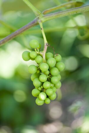 Unripe green grapes close up