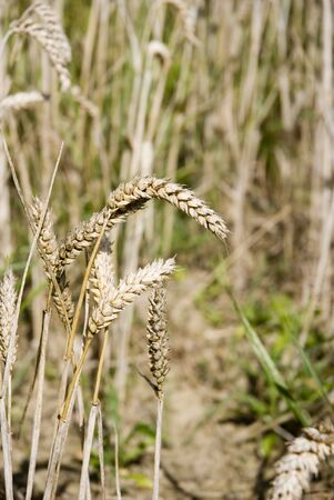 Close up of Wheat ears Stock Photo