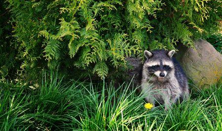 racoon: Szop pracz lub racoon w charakterze. Niedźwiedź maÅ'ych dzikÄ… przyrodÄ… satelitarnÄ… w trawy zgodnie z drzewa  Zdjęcie Seryjne