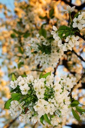 cherry or apple blossom flowers. white spring bloom on tree Stock Photo - 5779493