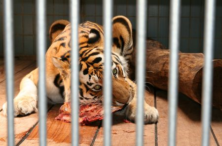 tiger cage eat meat. wild animal behind bars