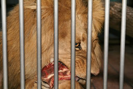 lion cage eat meat. wild animal behind bars