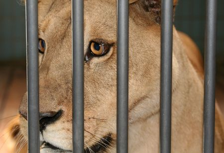 gorging: lioness or female lion behind bars in cage