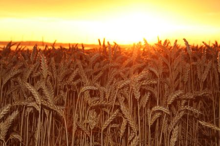 field of wheat. countryside at harvest time with crop in sunset Stock Photo