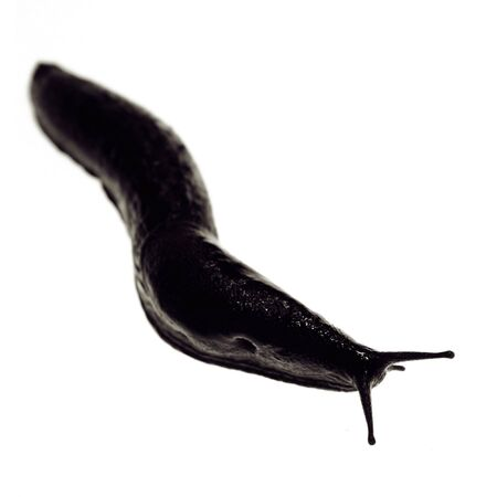 slimy: slug or black snail isolated on white. slimy slow wildlife