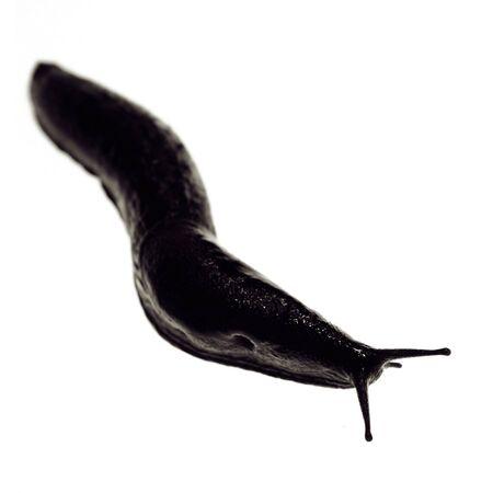 lesma: slug or black snail isolated on white. slimy slow wildlife