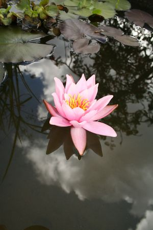 water lily in pond or water. romantic lotus flower in pink Stock Photo - 5778846