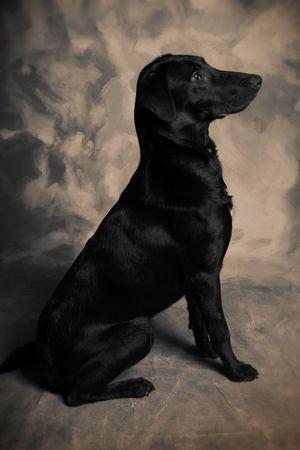 black labrador dog. portrait of pet animal photo