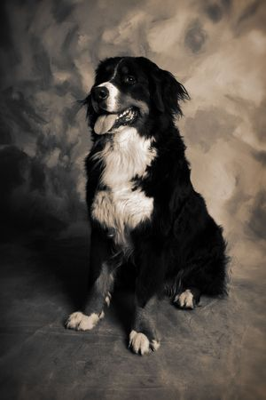 berner: dog portrait of bernese or berner sennen herd dog