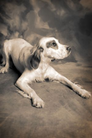 irish setter dog. pet animal portrait Stock Photo - 5770413