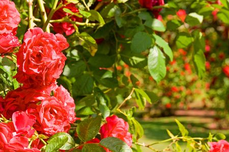 rose garden. red roses in bloom and green leafs. arches with flowers in summer
