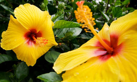 oriental flower: yellow orchid. two exotic oriental flower blossoms amongst vegetation