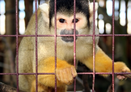 abe: monkey in zoo or laboratory in cage. abe behind bars Stock Photo