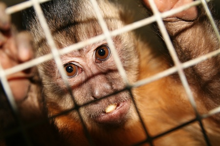 cage gorilla: monkey in zoo or laboratory in cage. abe behind bars Stock Photo
