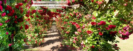 Rose garden, red roses in bloom. park with romantic flowers in arch or arbour Stock Photo - 13127542