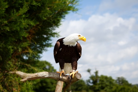 bald eagle bird of prey. national symbol of america. endangered wildlife photo