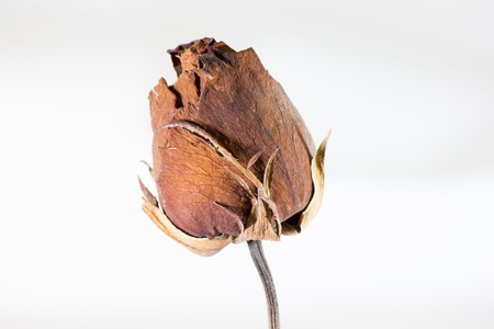 Rose flower beautiful Dry Stock Photo - 14651349