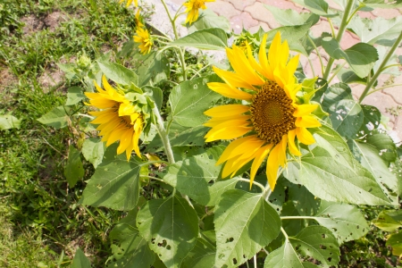 Tournesol jardin beaut� photo