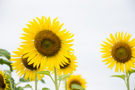 Close-up of sun flower against a blue sky Stock Photo