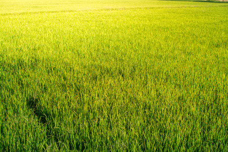 Rice field looks like Green grass. Everywhere is light Green as background.