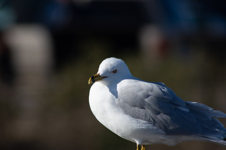 Seagull looking pensive for food and in thought Imagens - 102732683