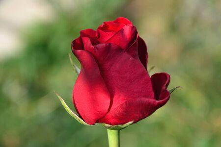 red rose bokeh: Red rosebud against a green background-bokeh Stock Photo