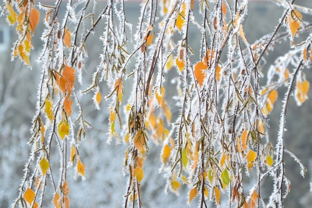 betula pendula: Frost crystals on Silver Birch branches and leaves.
