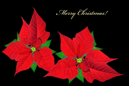 Christmas card with red poinsettias on black background