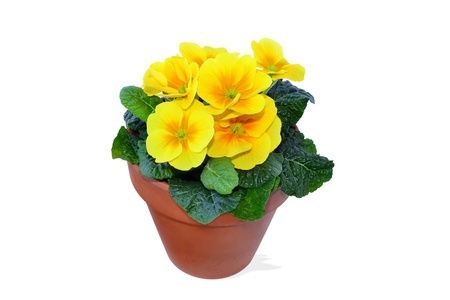 Yellow primrose in clay pot isolated on white background photo