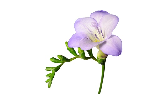 Delicate purple freesia blossom on white background.