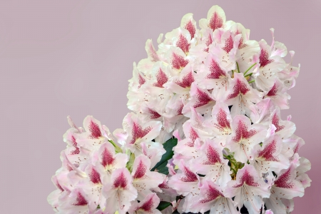 blotched: Rhododendron flowers pink, fading white, boldly blotched with burgundy on the dorsal lobe  It flowers in ball trusses of 20
