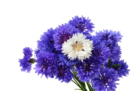 bachelor s button: Blue cornflower bouquet with a white flower in the middle - Centaurea cyanus isolated on white background  Stock Photo
