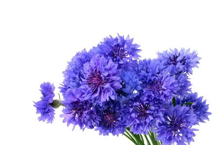 bachelor s button: Blue cornflower bouquet - Centaurea cyanus isolated on white background  Stock Photo