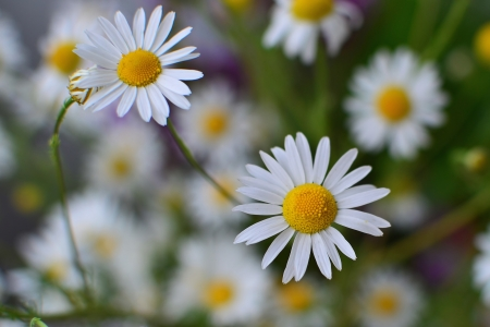 matricaria recutita: German Chamomile flower closeup - shallow DOF