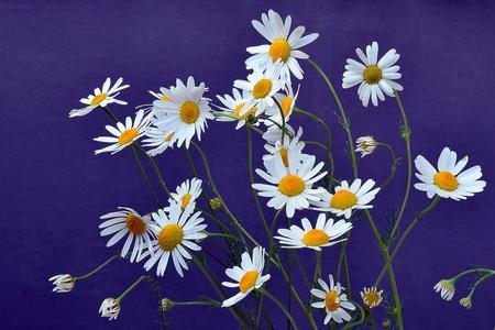 matricaria recutita: Fiori di camomilla su sfondo blu - Matricaria recutita Archivio Fotografico