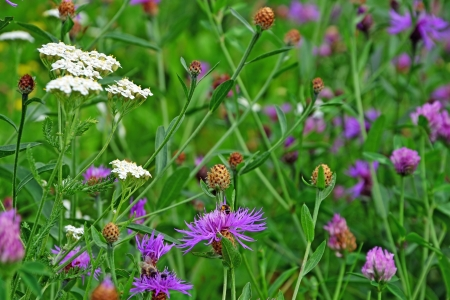 Common  Black  Knapweed field and a white yarrow flower in the foreground Stock Photo - 20861410