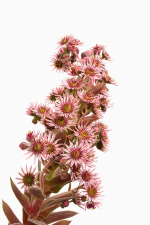 Houseleek flower closeup isolated on white - sempervivum inflorescence Blooming hen and chicks succulent plant  photo