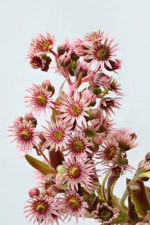 Houseleek flower closeup - sempervivum inflorescence Blooming hen and chicks succulent plant  photo