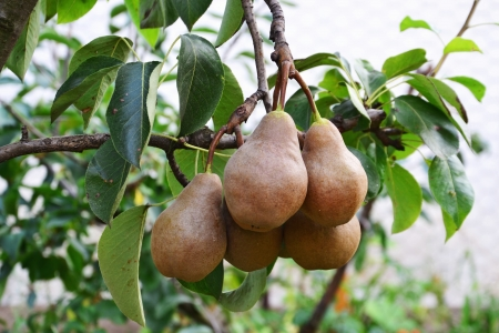 Ripe bosc pears on a tree branch - European pears  Фото со стока