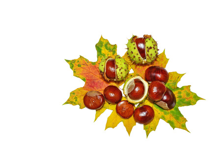 Horse-chestnuts on autumn leaves isolated on white background - Aesculus hippocastanum fruits. photo