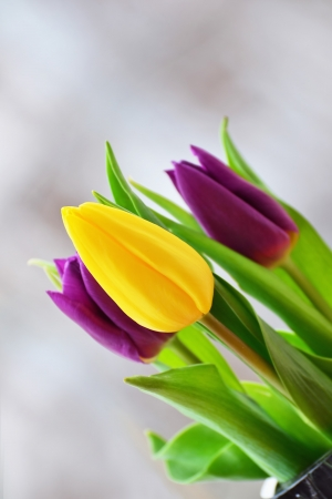 Spring tulip bouquet - yellow and purple tulips in a vase. photo