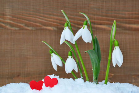 Two red hearts and snowdrop flowers in the snow on a wooden background  photo