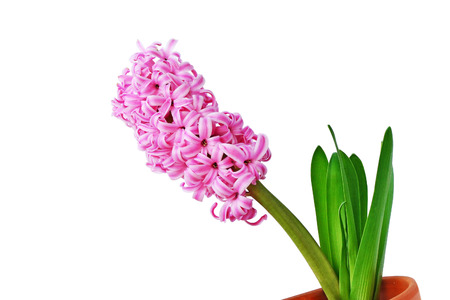 Pink hyacinth flower in clay pot isolated - closeup. photo