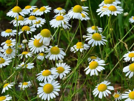 matricaria recutita: Fiori di camomilla in campo - pianta medicinale Matricaria recutita